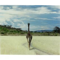 Picture Glass Savanne Giraffe Multicolored 100x120cm